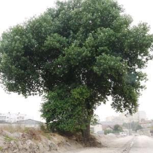 Imagem de conjunto da árvore, ainda de pé, bela e imponente. Matosinhos, rua Brito e Cunha, parte sul.