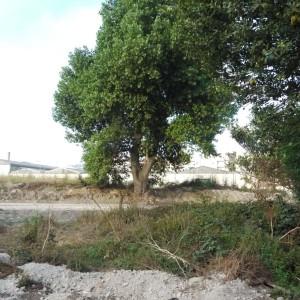 A imagem mostra a exposição das raízes maltratadas após os trabalhos na via. Matosinhos, rua Brito e Cunha, parte sul.