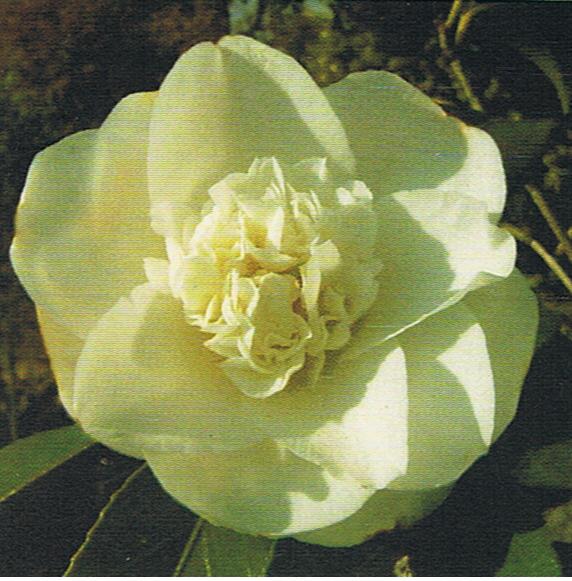 camelia-cha
