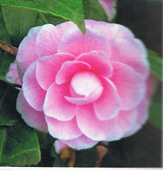 camelia-rosa-1