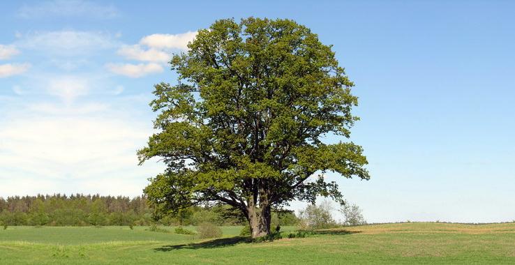30_06 árvore milenar, o carvalho é carregado de simbolismos Crédito liboriocosta_blogspot_com