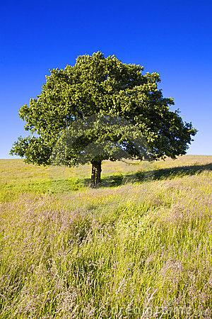 rvore-de-carvalho-inglesa-5578210